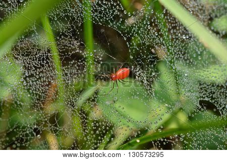 Red grass spider, web glistening in early morning dew drops.  Florinda coccinea, black-tailed sheetweaver.