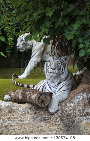 White Tiger Cautiously Looking