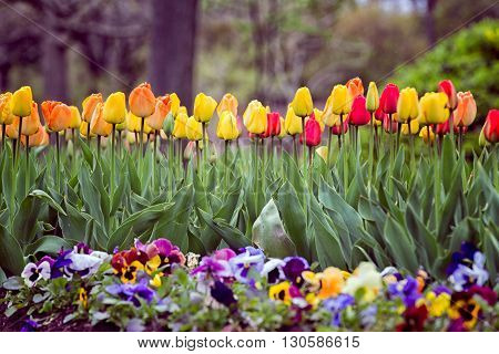 flower bed of colorful assorted tulips with bokeh