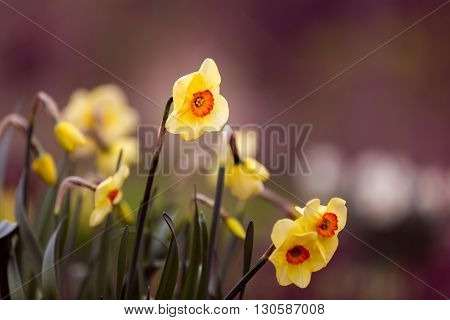 bunch of daffodils with bokeh in background