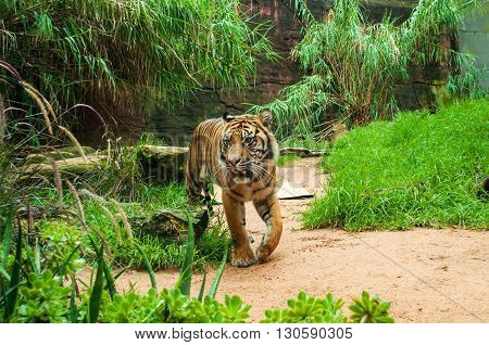 Sumatran tiger. The Sumatran tiger is the only surviving member of the Sunda Islands group of tigers that included the now extinct Bali tiger and Javan tiger.