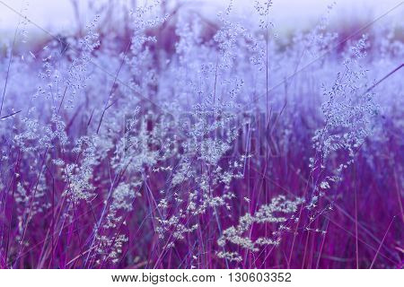 Close up of poaceae grass flower for backgound