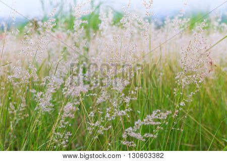 Close up of poaceae grass flower for background