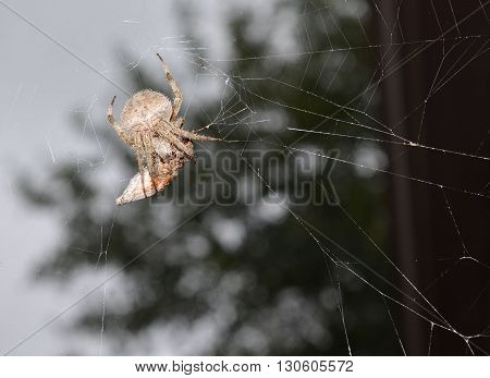 Garden spider arachnid with prey wrapped up in his web