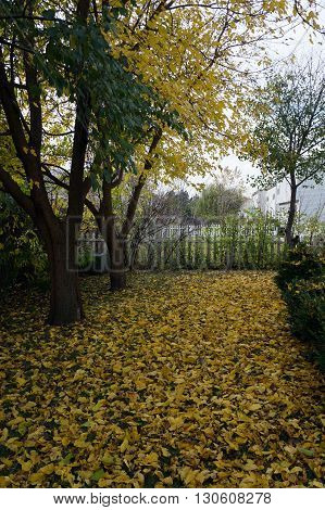 Yellow leaves from a white mulberry tree (Morus alba) litter a yard in Joliet, Illinois during November.