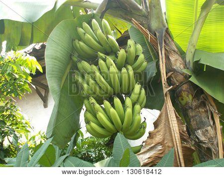 Big green banana hanging on the banana tree, musa banana