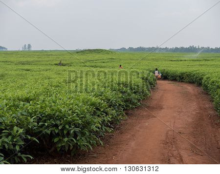 a big tea cultivation in Malawi Africa