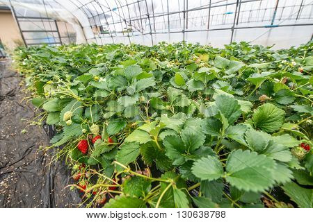 Rows of strawberry fruits and plants growing undercover