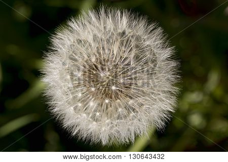 Closeup on dandelion seed head from above