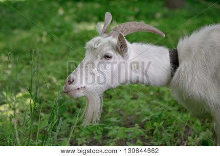 White Goat Grazing In A Green Oasis. Close-up Portrait