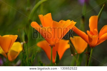 Small group of orange poppies in full bloom, Eschscholzia californica wildflowers
