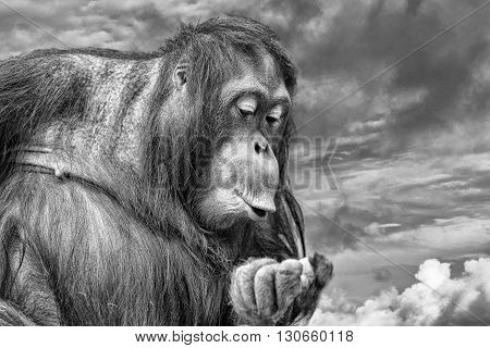 orangutan monkey portrait on the gold sunset background in black and white