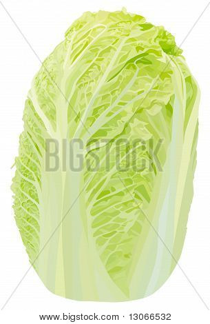vector chinese cabbage