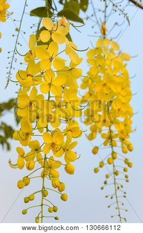 Golden shower tree or Cassia fistula, Tropical