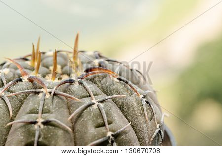 Close up black cactus on pot with office buliding background