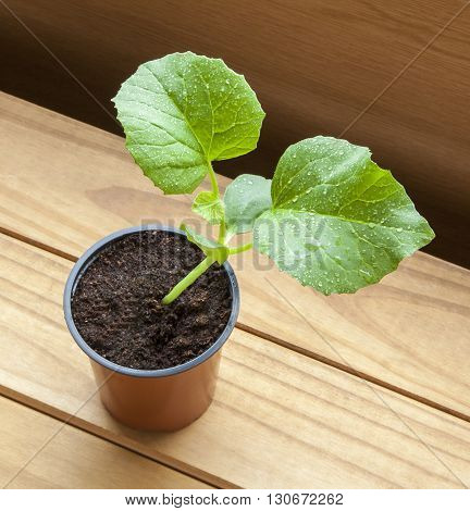 Growing melon plants - young sapling melon plant in plant pot with beautiful natural wood background and text / copy space.