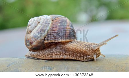 Picture of a garden snail edible snail escargot