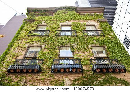 An old architectured building in Chicago city covered by green vines all around it. This ancient architectured building looks beautiful. On the background, skyscrappers are seen.