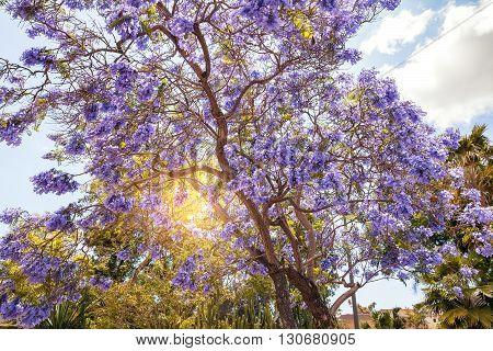 Blooming Jacaranda Tree in San Diego California