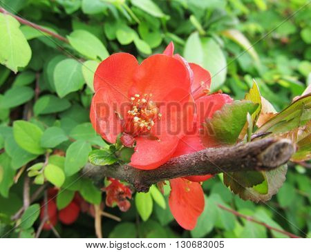 close photo of a red bloom of japanese quince