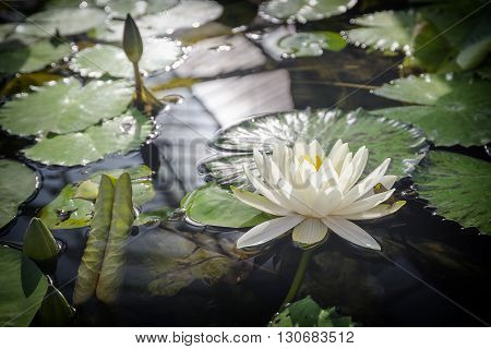 White Lotus with Reflection in the pond