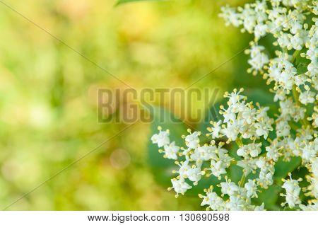 Flowers elderberry Sambucus nigra elderberry flower with copyspace