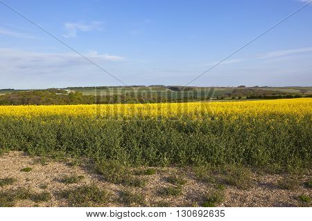 Oilseed Rape Crop In The Yorkshire Wolds