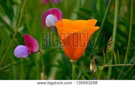 Beautiful orange poppy among wildflowers, Eschscholzia californica