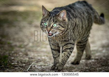 Wild cat with open mouth walking on a path
