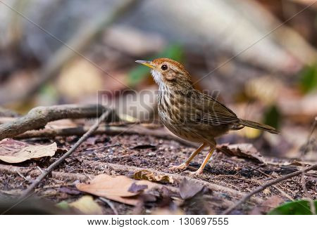 beautiful Puff-throated Babbler (Pellorneum ruficef) possing on the log