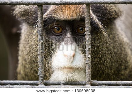 A monkey stares longingly from behind the bars of his cage.