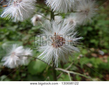 flowering white butterbur background , White butterbur (Petasites albus)
