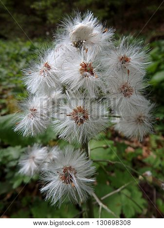 flowering white butterbur, background, White butterbur (Petasites albus)