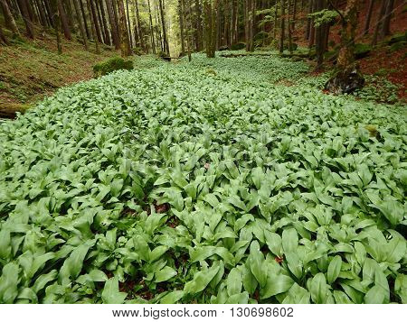 Allium ursinum or more commonly known as wild garlic ,green background ,greenwood