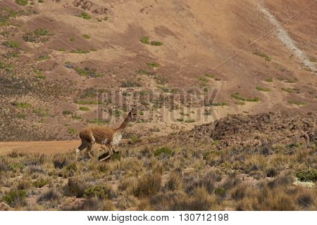 Lone vicuna (Vicugna vicugna) amongst the colourful mountains at Suriplaza in the Atacama Desert of north east Chile.