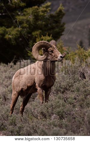 a big horn ram stands in the sage brush