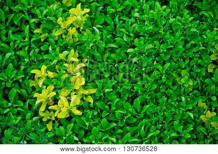 lush hedge of evergreen plant with ownership separation function lush hedge of evergreen plant with ownership separation function