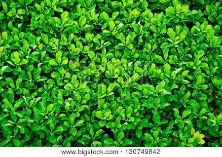 lush hedge of evergreen plant with ownership separation function lush hedge of evergreen plant with ownership separation function poster