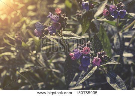 close up on blue flowers of Brunnera macrophylla