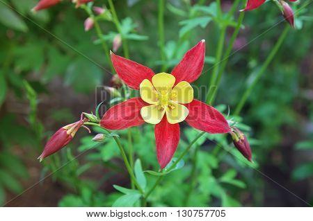 Beautiful red flower Aquilegia. Blooming flower Aquilegia