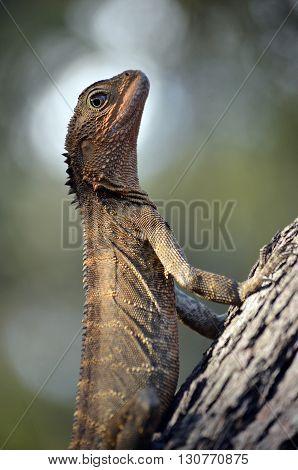 Australian Eastern Water Dragon sunning itself on a tree trunk
