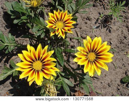 Three yellow with red stripes gazania flowers.