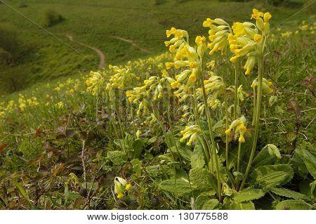 Cowslip - Primula veris Mass of flowers on limestone grassland