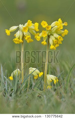 Cowslip - Primula veris Common Grassland Meadow Flower