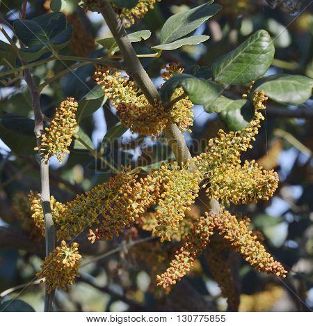 Carob or Locust Tree - Ceratonia siliqua Flowers