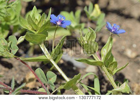 Blue Pimpernel - Anagallis arvensis foemina Small Blue Flower