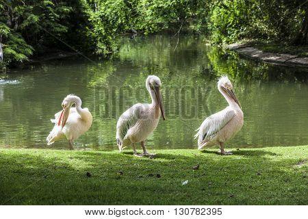 White Pelicans Enjoy The Sun