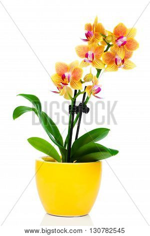 beautiful yellow orchid in pot isolated on white