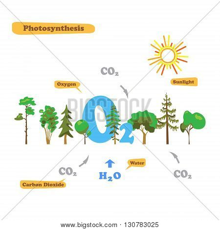 Illustration of photosynthesis - infographics of the photosynthesis process. Infographics in flat style.