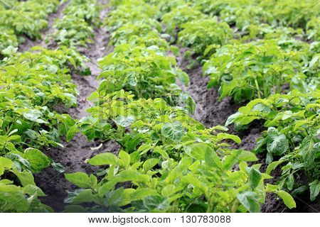 Potato field with green shoots of potatoes. Young potato plants.